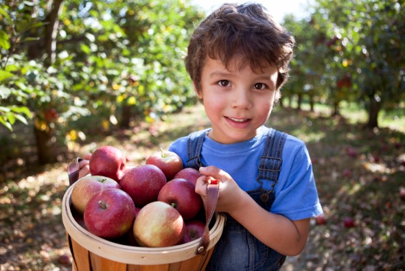 Child carrying a bushel of apples.